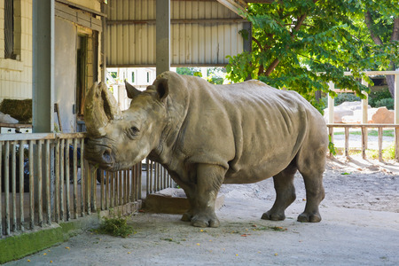 kiev: Rhinoceros in Kiev zoo