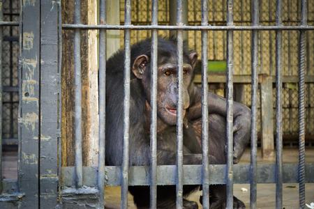 chimpances: Chimpancés en una jaula en el zoológico de Kiev