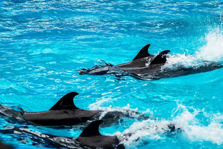 Dolphins swimming on their backs in blue water