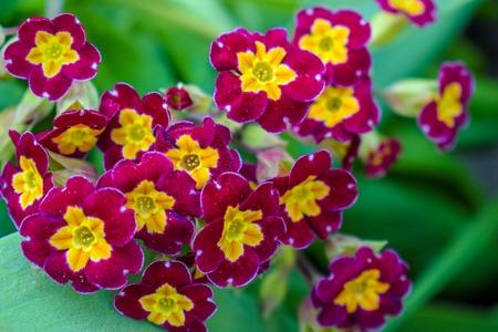 Primrose or primula vulgaris is the first flower blossoming. Hence name primrose or primula. Primrose in spring garden.