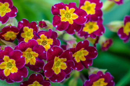 Primrose or primula vulgaris is the first flower blossoming. Hence name primrose or primula. Primrose in spring garden.