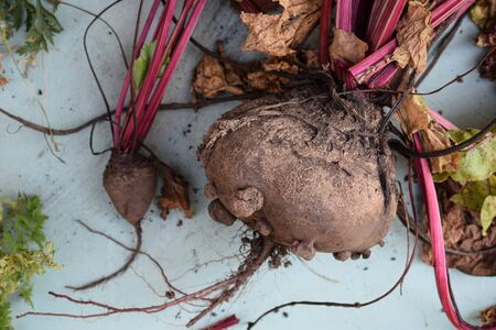 Grown beets just pulled out of the furrows in the garden