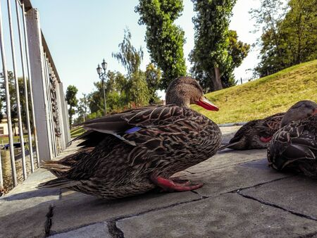 Cute ducks are resting near the lake. Ducks are sleeping.