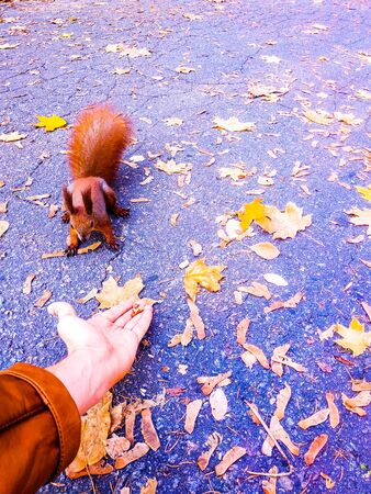 Male hand holds out food to a forest squirrel. Autumn composition. First-person view.