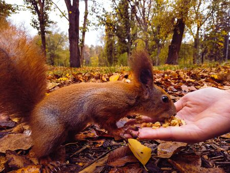 Squirrel. Funny red squirrel eating nuts from the palm of your hand. person feeds the squirrel. Feeding animals in the forest. Red squirrel eating in the hand. Stockfoto