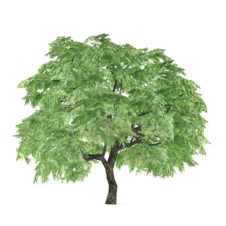 palmatum: Tree isolated. Acer palmatum