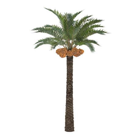 dactylifera: Palm tree isolated. Phoenix dactylifera