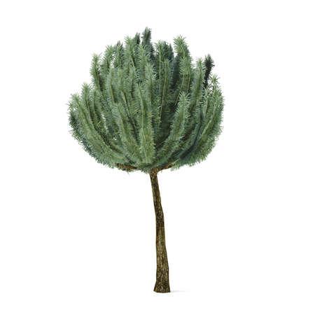 mugo: Plant tree. Pinus mugo