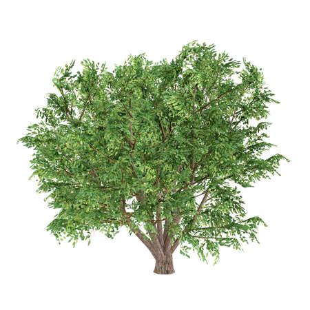 Tree isolated. Ulmus Campestris photo