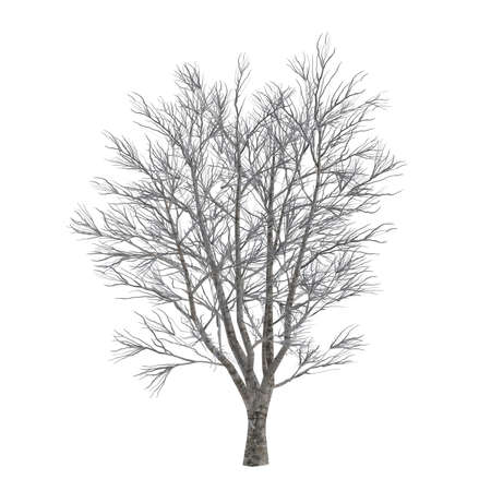 Dead tree without leaves isolated. Acer Stock Photo - 23775423