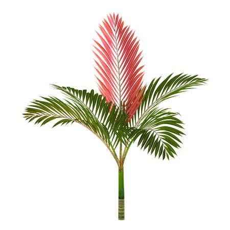 Palm tree isolated. Chambeyronia macrocarpa Banco de Imagens - 23833218
