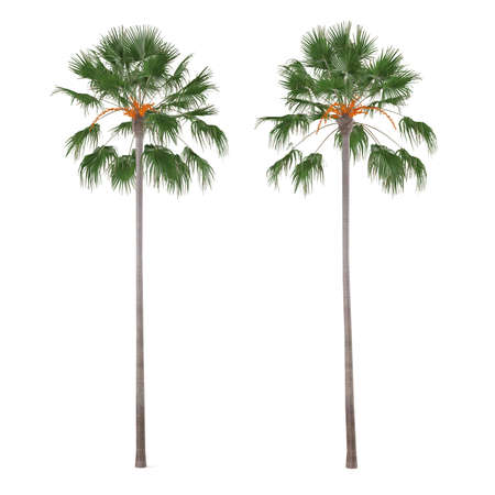 Palm tree isolated. Livistona merrillii