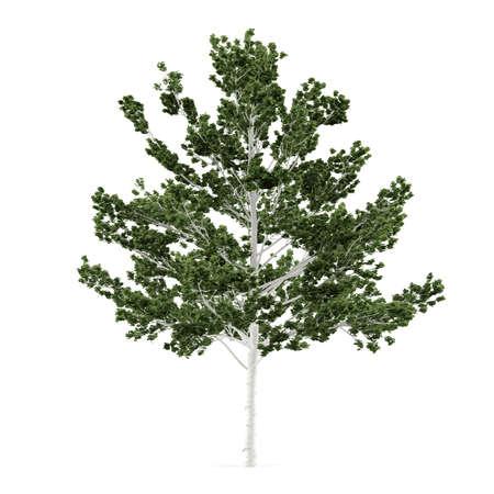 betula: Tree isolated. Betula