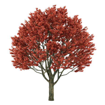 Tree isolated. Acer griseum