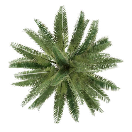 Palm tree isolated. Jubaea chilensis top view photo