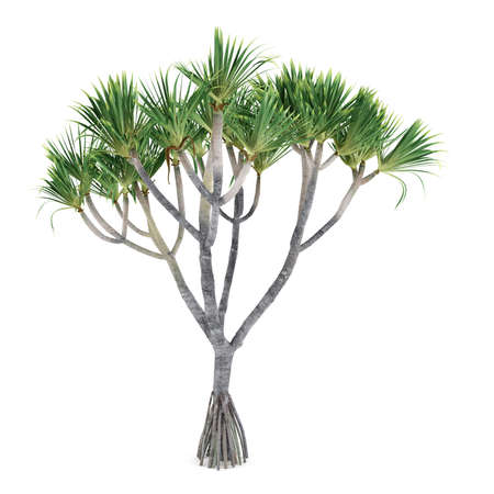 pandanus tree: Palm plant tree isolated. Pandanus utilis