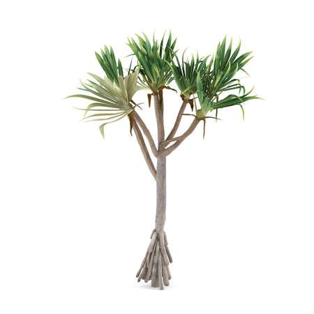 pandanus: Palm plant tree isolated. Pandanus utilis