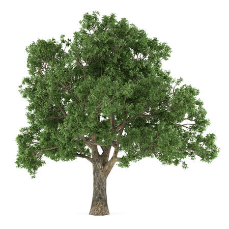 Tree isolated. Quercus 版權商用圖片