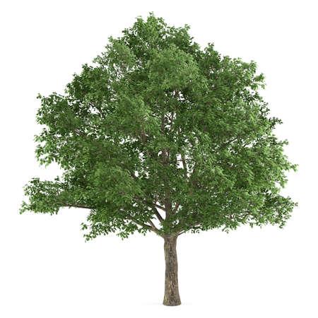 subtropics: Albero isolato. Quercus robur
