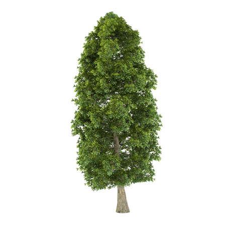 tilia: Tree isolated. Tilia platyphyllos