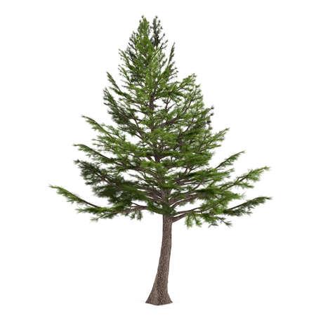 libani: Tree pine isolated. Cedrus libani Stock Photo