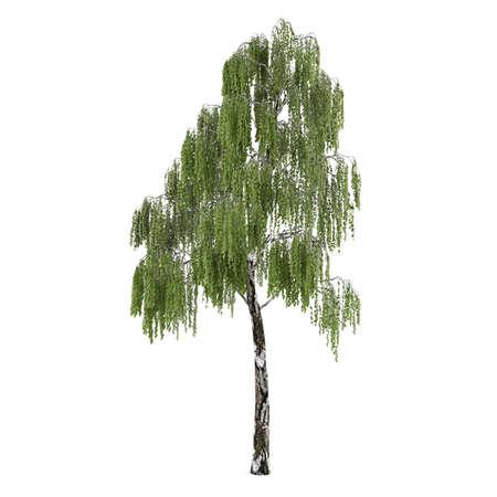 betula: Tree isolated. Betula birch