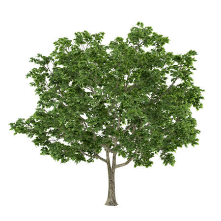 acer platanoides: Tree isolated. Acer platanoides maple