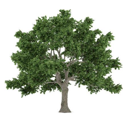 saccharum: Tree isolated. Acer saccharum maple