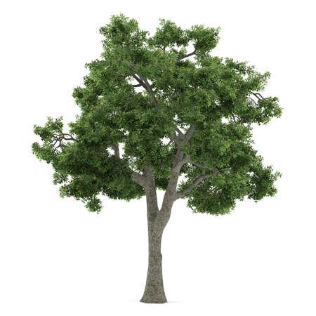 Tree isolated  Fraxinus Banco de Imagens - 24699519