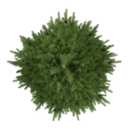 picea: Tree isolated. Picea fir-tree top