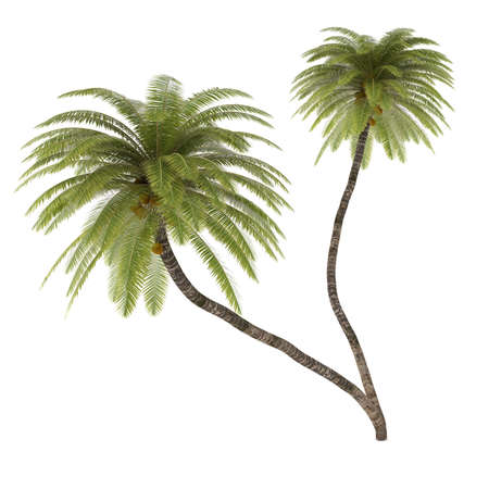 coconut palm: Palm tree isolated. Cocos Nucifera