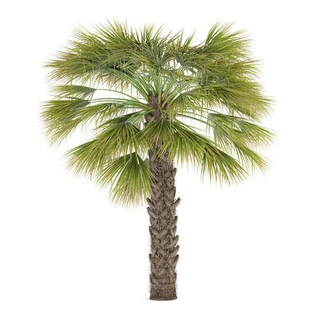 Palm tree isolated. Sabal Palmetto Banco de Imagens - 24739243