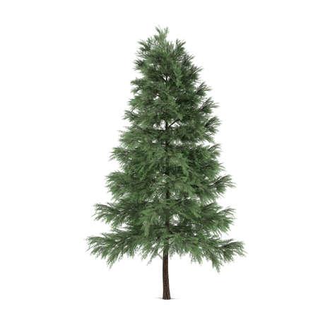 pinus sylvestris: Tree isolated. Pinus sylvestris fir-tree Stock Photo