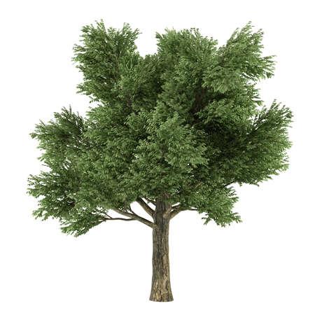 quercus: Tree isolated. Quercus Stock Photo