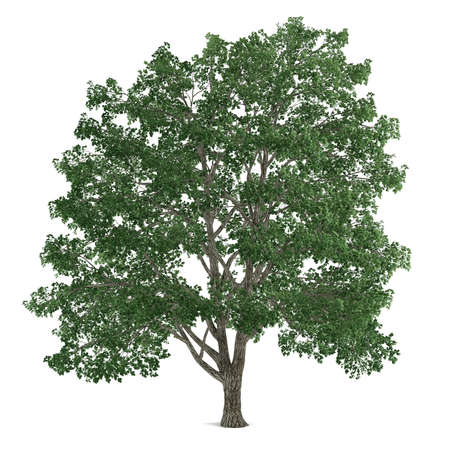 tilia: Tree isolated. Tilia