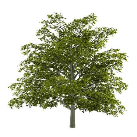 acer platanoides: Tree isolated. Acer platanoides