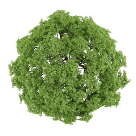 Tree isolated. Acer palmatum top Stock Photo - 24754489