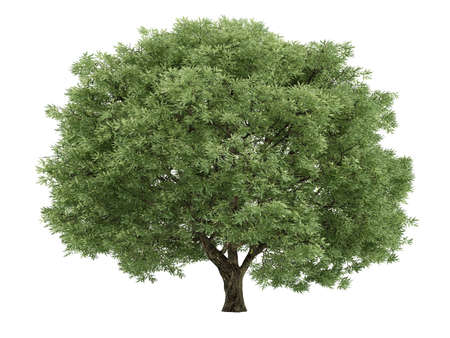 salix fragilis: Tree isolated. Salix fragilis