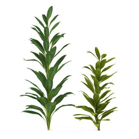 Palm plant tree isolated. Cordyline glauca