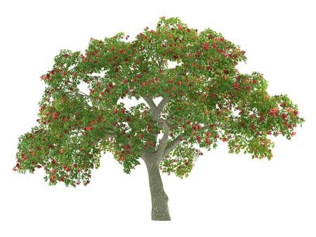 Tree isolated. Erythrina
