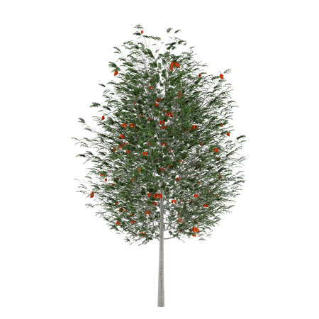 Tree isolated. Sorbus aucuparia isolated at the white background
