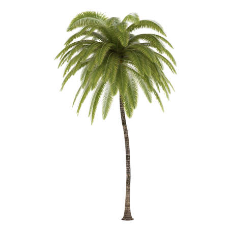 on palm tree: Palm tree isolated. Cocos Nucifera