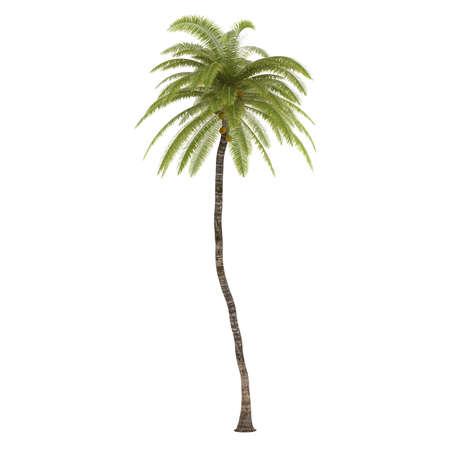 cocos: Palm tree isolated. Cocos Nucifera