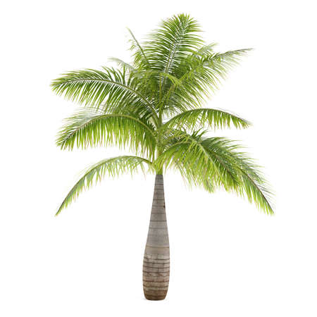 Palm tree isolated. Hyophorbe Lagenicaulis photo