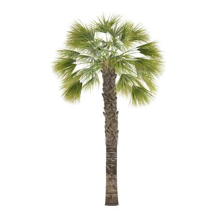 palmetto: Palm tree isolated. Sabal Palmetto Stock Photo