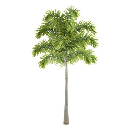 Palm plant tree isolated. Wodyetia Reklamní fotografie