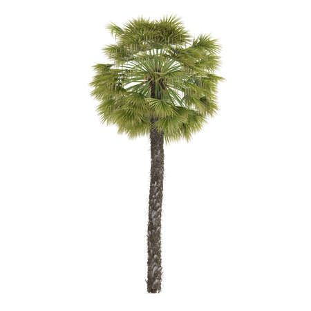 Palm plant tree isolated. Trachycarpus Banco de Imagens - 24739041