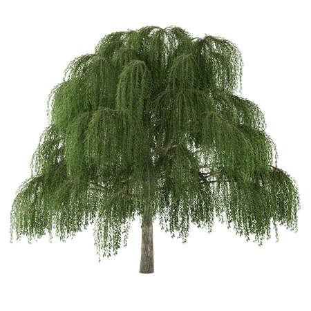 salix: Tree isolated. Salix willow