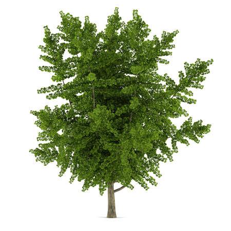 Tree isolated. Ginkgo biloba