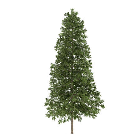 picea: Tree isolated. Picea abies fir-tree